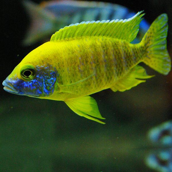 aulonocara-baenschi-benga