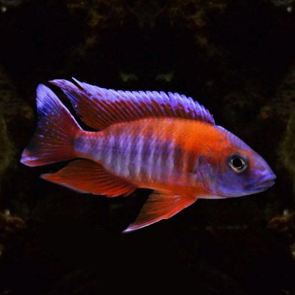 aulonocara-jacobfreibergi-eureka
