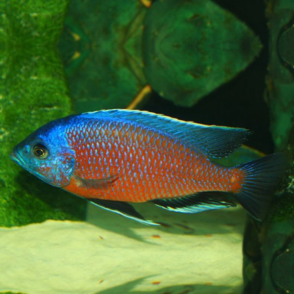 copadichromis-borleyi-kadango-red-fin