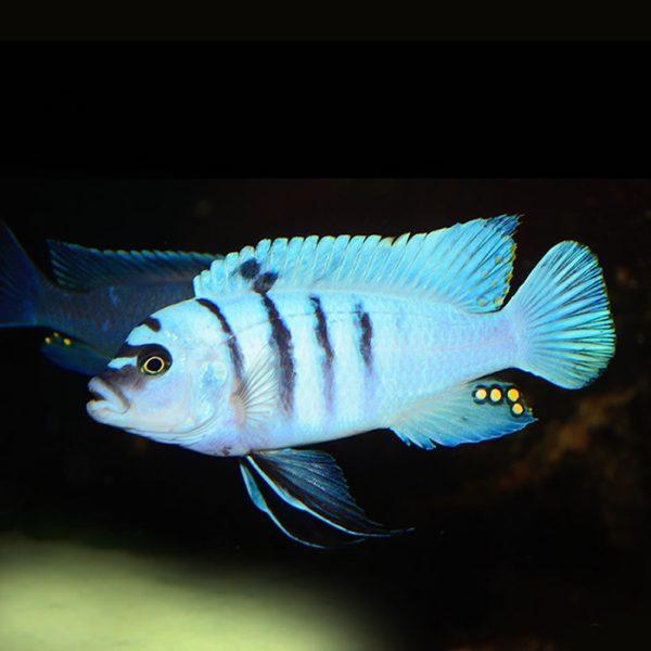 cynotilapia-sp-hara-gallireya-reef