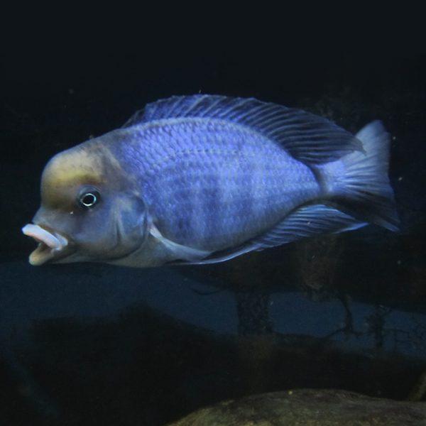 cyrtocara-moorii-blue-dolphin