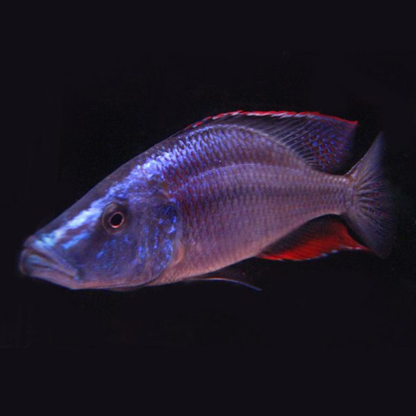 dimidiochromis-compressiceps2