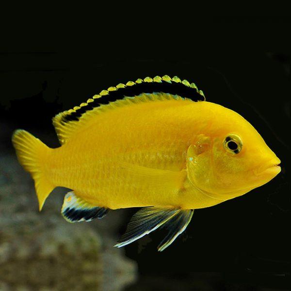 labidochromis-caeruleus