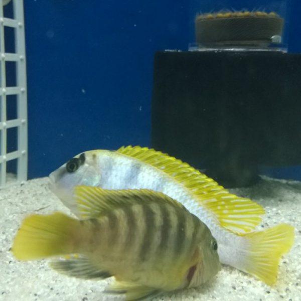 labidochromis-perlmutt
