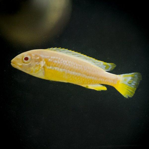 melanochromis-auratus-albino