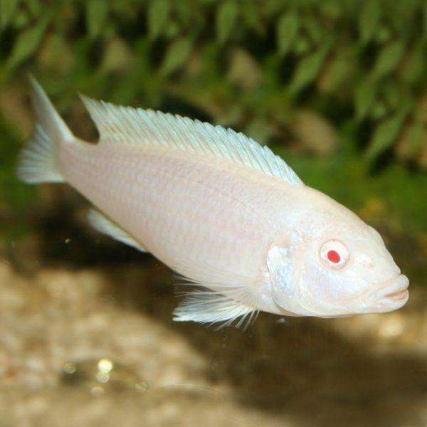pseudotropheus-socolofi-albino-snow-white