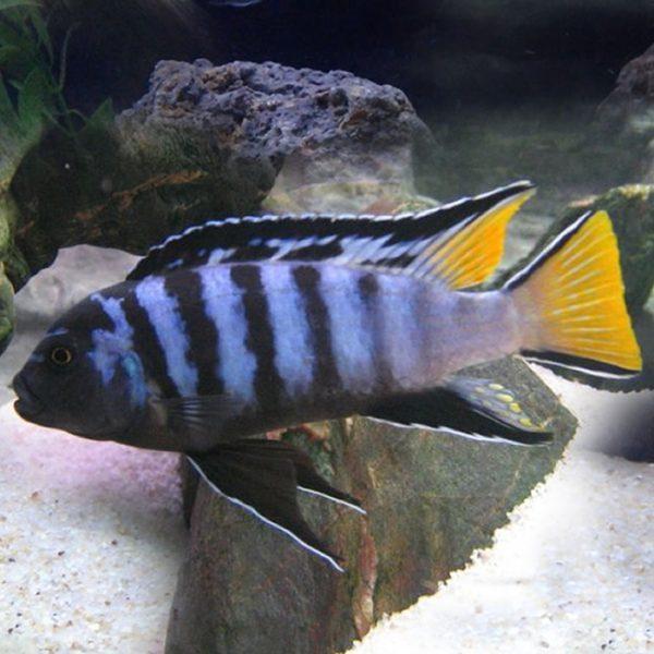 pseudotropheus-sp-elongatus-mpanga