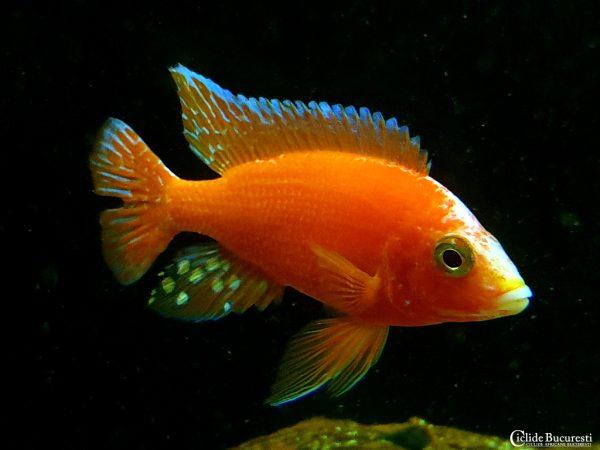 Aulonocara Firefish Orange 2 Ciclide Bucureti