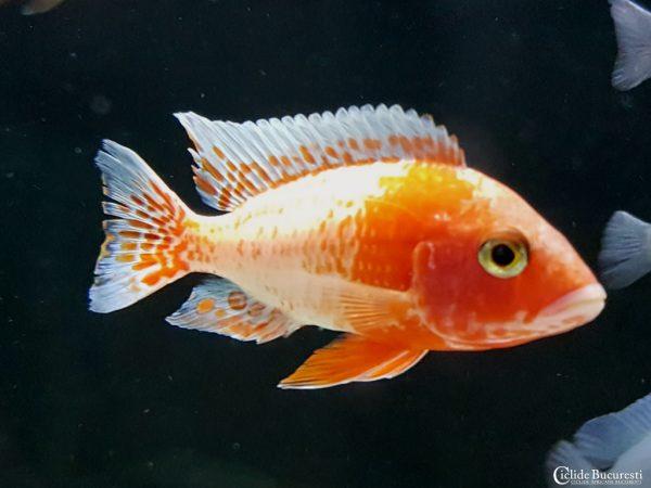 Aulonocara Firefish Red ice blu exoticconcept